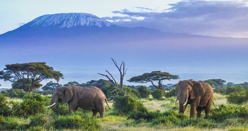 Crowned by Mount Kilimanjaro, Amboseli National Parks is one of Kenya's most popular parks