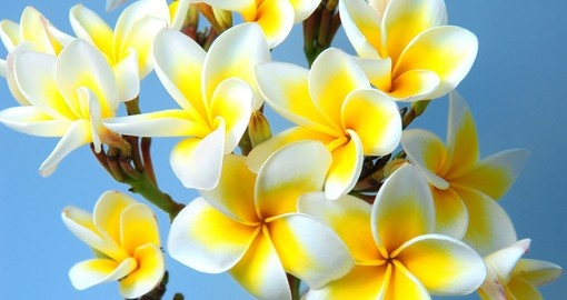 Experience the smell of a fresh frangipani lei on your South Pacific vacation.