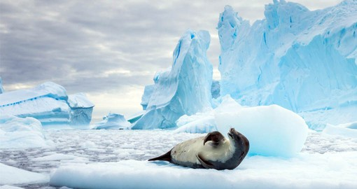 Crabeater seals spend their entire lives in the pack-ice zone surrounding Antarctica
