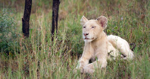 The Timbavati is famous for the white lions that inhabit the area
