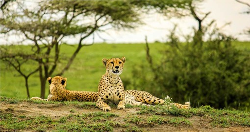 Often overshadowed by the Serengeti and the Ngorongoro Crater, Tarangire has huge concentrations of animals