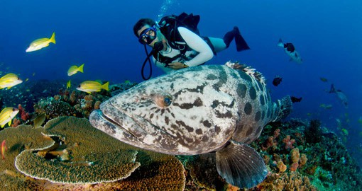 Commonly growing up to 1.5 metres in length, Potato Groupers are possibly the most curious fish of all