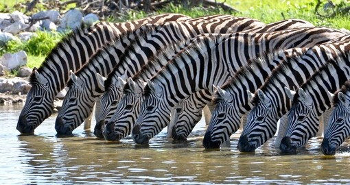 Zebras at a watering hole - a perfect photo opportunity while on your Tanzania safaris.