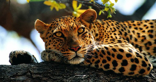 Leopards are extremely elusive, solitary and nocturnal. They are also powerful swimmers.