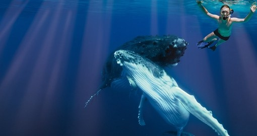 Swimming with whales is a great tour inclusion for your Tonga vacation.