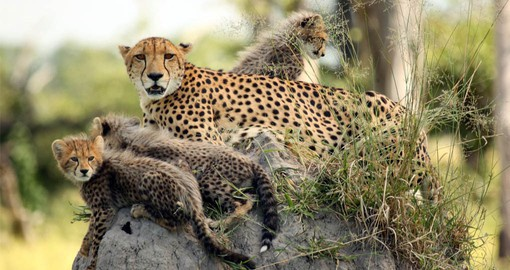 Start your Botswana safari in the Okavango Delta, home to a healthy Cheetah population