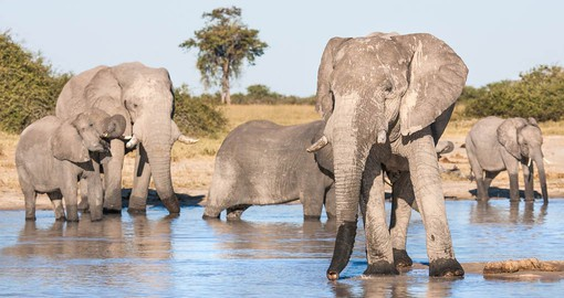"Chobe, know as ""The Land of the Giants"" is home to the largest concentration of elephant in Africa"