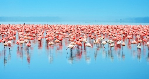 Flocks of flamingo in Lake Nakuru - Kenya