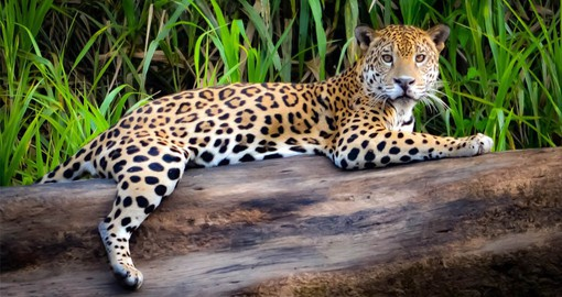 Peru is a stronghold for the jaguar in the Amazon