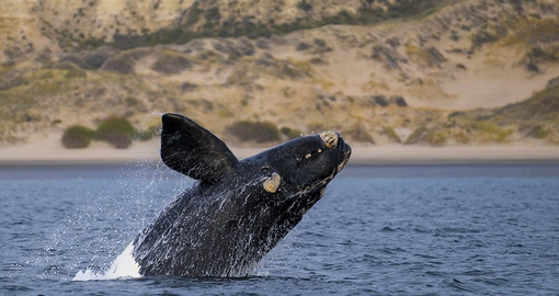 Right Whale off the coast of Puerto Madryn