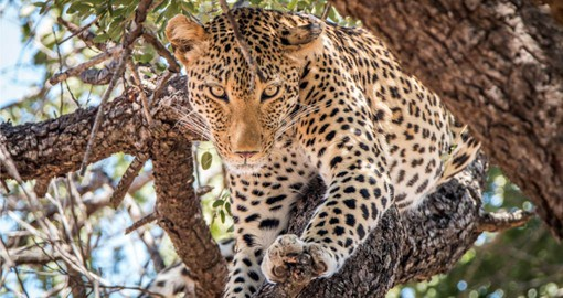 The Leopard is the least social and perhaps the most beautiful of the African big cats