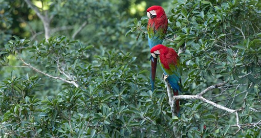 Scarlet Macaws are the jungle's most charismatic birds