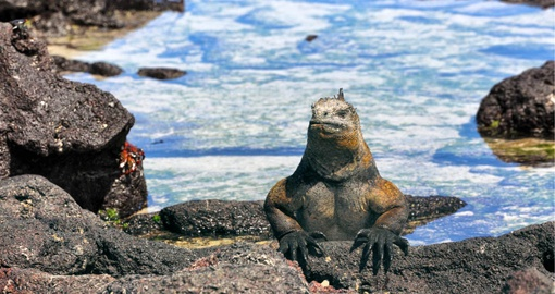 A Marine Iguana surveys his kingdom