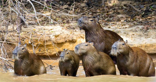 The biggest rodent in the world, the semi-aquatic capybara spends most of its time grazing or swimming
