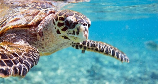 Hawksbill sea turtle swimming in Seychelles