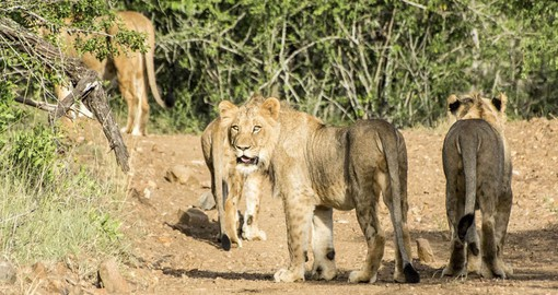Enjoy close encounters with Africa's big cats at Amakhosi