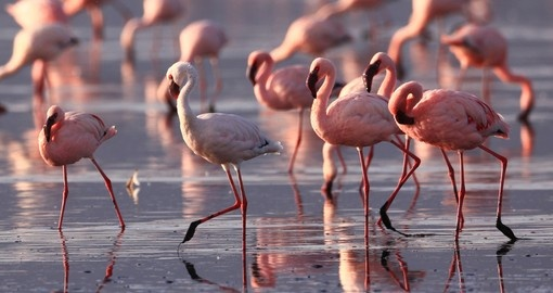 Flamingos on Lake Nakuru are one of many highlights on your Kenya vacation.