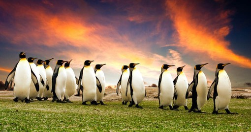 Majestic king penguins never fail to delight visitors to the Falklands