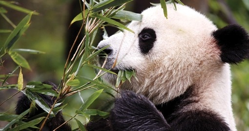 Visit the Panda breeding centre, Chengda