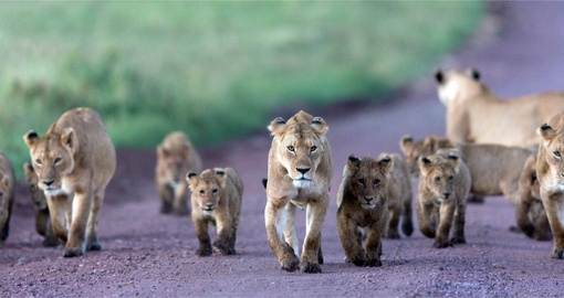 A pride of Lions in the middle of the road