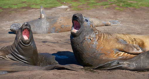 Enjoy the melodic sounds of elephant seals on on your Falklands vacation