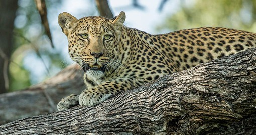 The Leopard is the most elusive of the big cats and is a member of Africas Big Five