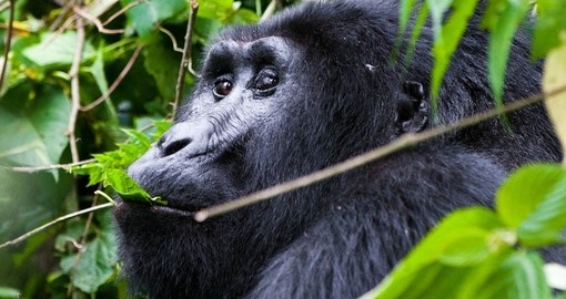 Mountain gorilla (Silverback) in Bwindi National Park Uganda