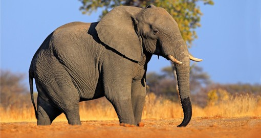 Botswana's first and most biologically diverse National Park, Chobe is home to Africa's largest Elephant herds