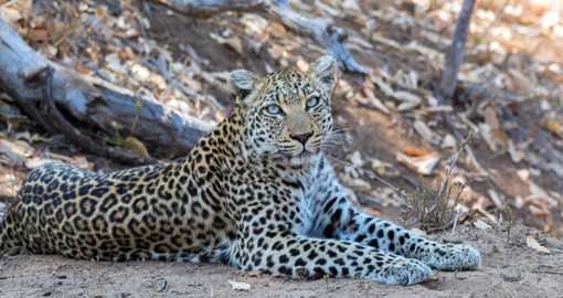 The Timbavati boasts an exceptional leopard population