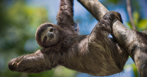 Sloth's are happiest just hanging around