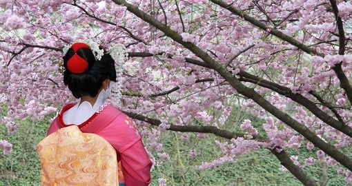 A Geisha in front of a blooming Sakura tree