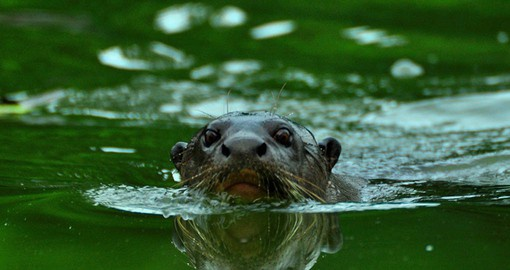 The Amazonian River Otter is the world's largest, at up to 6 feet long