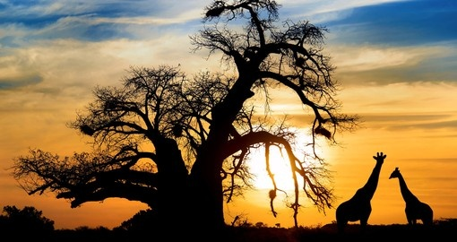 Spectacular sunset with baobab and giraffe on african savannah