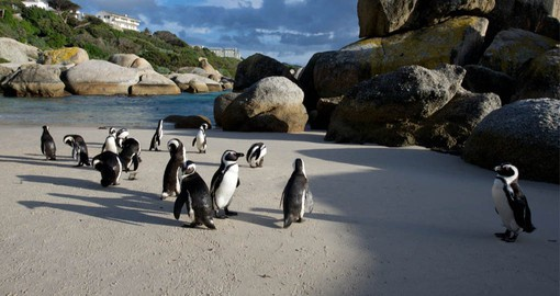 Starting with two breeding pairs in 1982, the penguin colony at Boulders Beach now numbers over 3,000