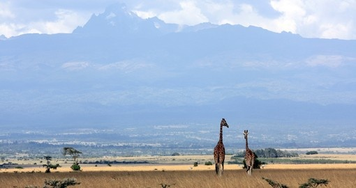 Giraffes with Mt Kenya in the background - A great photo opportunity on your Kenya safari