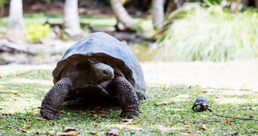The Giant Tortoise is only found in the in the Seychelles and the Galapagos Islands