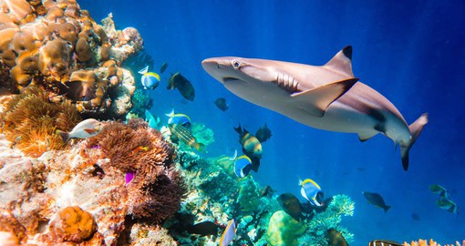 Reef Sharks are not aggressively territorial and are willing to share the space with others of their species
