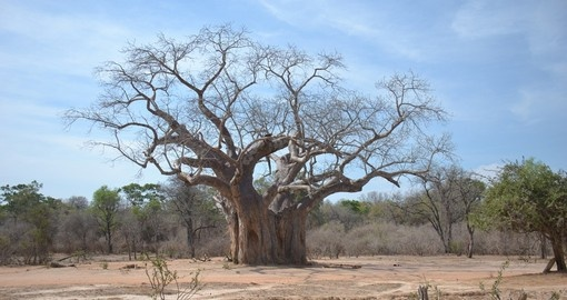 The large Baobab Tree is always a great photo opportunity while on your Zimbabwe safari.