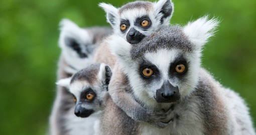 Ring-tailed lemur with her babies - always a popular photo opportunity on your Madagascar vacation.