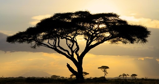 A large Acacia tree backlit against a Kenyan sunset