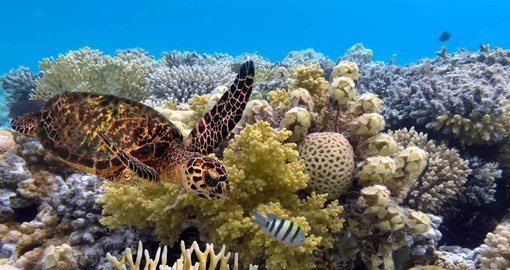 Globally, the largest populations of sea turtles are to be found on the Great Barrier Reef