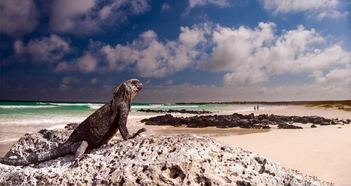 Marine Iguanas are endemic to the Galapagos Islands and are the world's only sea-going lizards
