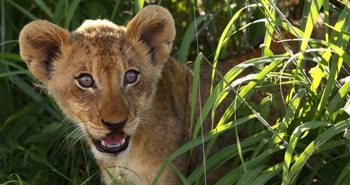 Lion Cub - Kruger National Park - South Africa