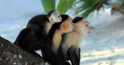 White Faced Capuchin monkey
