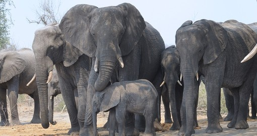 Your Botswana safari visit Chobe, known for its large herds of elephants