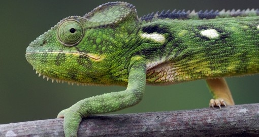 Malagasy giant chameleon is a great photo opportunity on Madagascar tours.